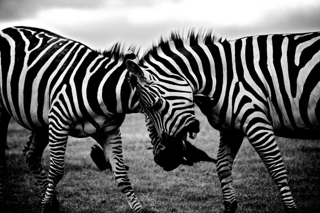 Combat Zebre