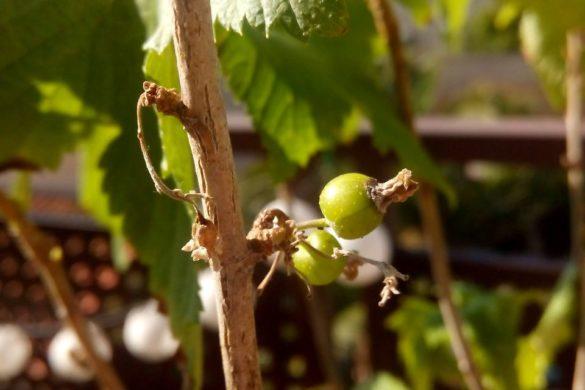 Cassis - Fruit