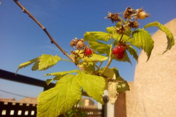 Framboisier - Fruits