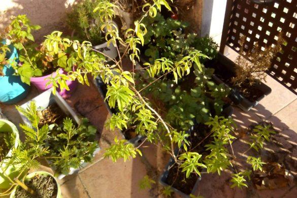 Verveine citronnée en jardinière